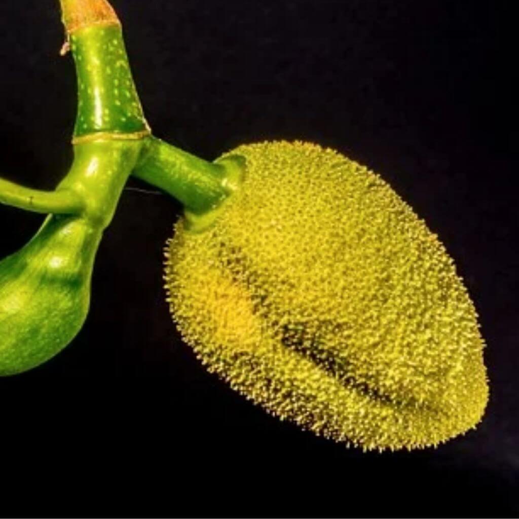 Jackfruit Benefits in Hindi